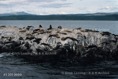 A colony of sealions on an island in the Beagle        
