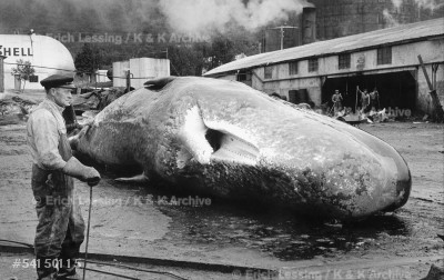 Whaling in the Arctic Circle. Whales are brought toTromsoe harbour, Norway, for processing.