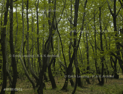 """A young forest. """"Dancing Forest of Orpheus"""".           Thrace, Greece"""
