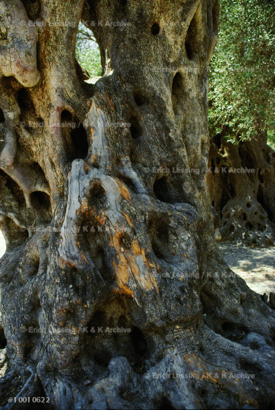 Ancient olivetree near the Gulf of Ithea.