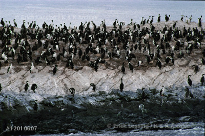 A penguin-colony on an island in the Beagle Channel,   the narrow sea-passage that cuts through Fireland.     The Channel is named after the ship in which           Darwin sailed during his first expedition.